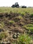 Za płotem bezpieczniej. Wyniki monitoringu sukcesu gniazdowego siewkowców łąkowych